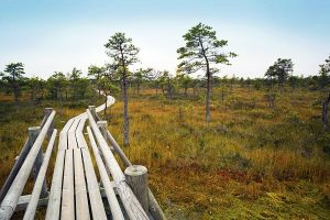 87403568 - big swamp wetlands kemeri national park, latvia. travel concept